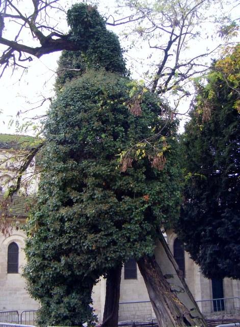 Le-plus-vieil-arbre-de-Paris